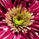 chrysanthemum - PhotoDune Item for Sale