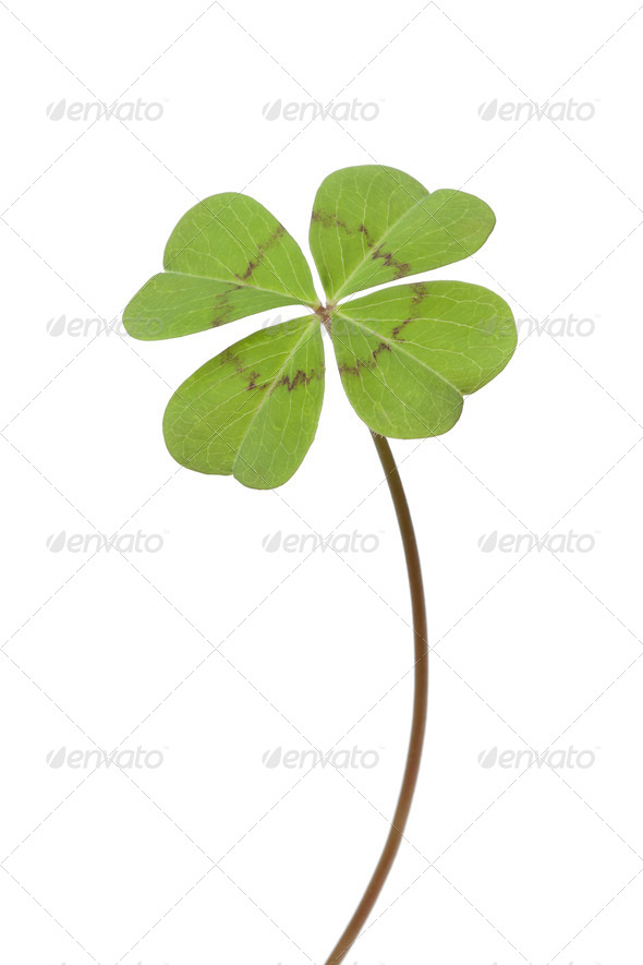 Four-leaf clover - Stock Photo - Images