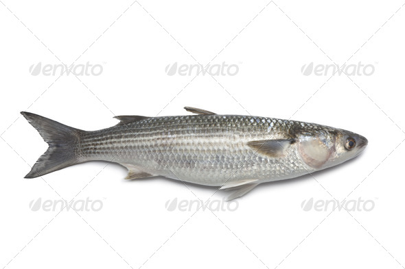 Whole fresh grey mullet - Stock Photo - Images