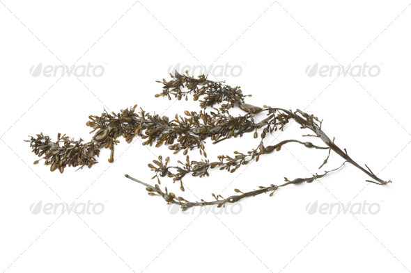 Branche of common seaweed - Stock Photo - Images