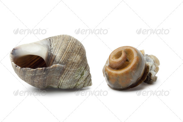 Cooked common periwinkle - Stock Photo - Images