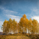 Birch trees in the autumn - PhotoDune Item for Sale