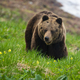 Brown bear moving on green glade in sprintime nature - PhotoDune Item for Sale