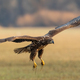 Juvenile white-tailed eagle in flight over the pasture - PhotoDune Item for Sale
