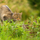 Elegant european wildcat hunting in summer hidden in green vegetation - PhotoDune Item for Sale