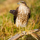 Adult eurasian sparrowhawk female holding tail up in sunlight - PhotoDune Item for Sale