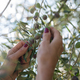 Picking olive fruits from a tree - PhotoDune Item for Sale