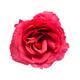 Red rose flower - PhotoDune Item for Sale
