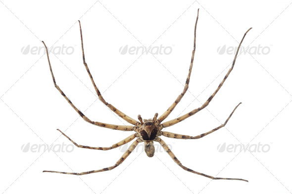 Cane spider - Stock Photo - Images