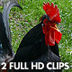 Black Rooster Crowing (2-Pack) - VideoHive Item for Sale
