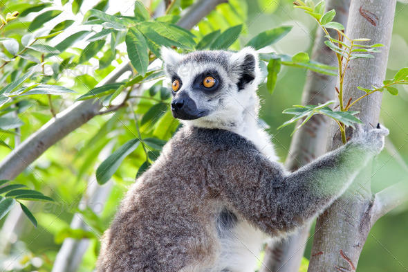Lemur of Madagascar - Stock Photo - Images