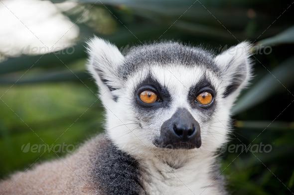 Lemur of Madagascar - Stock Photo - Images