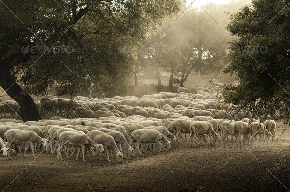 Sheep herd - Stock Photo - Images