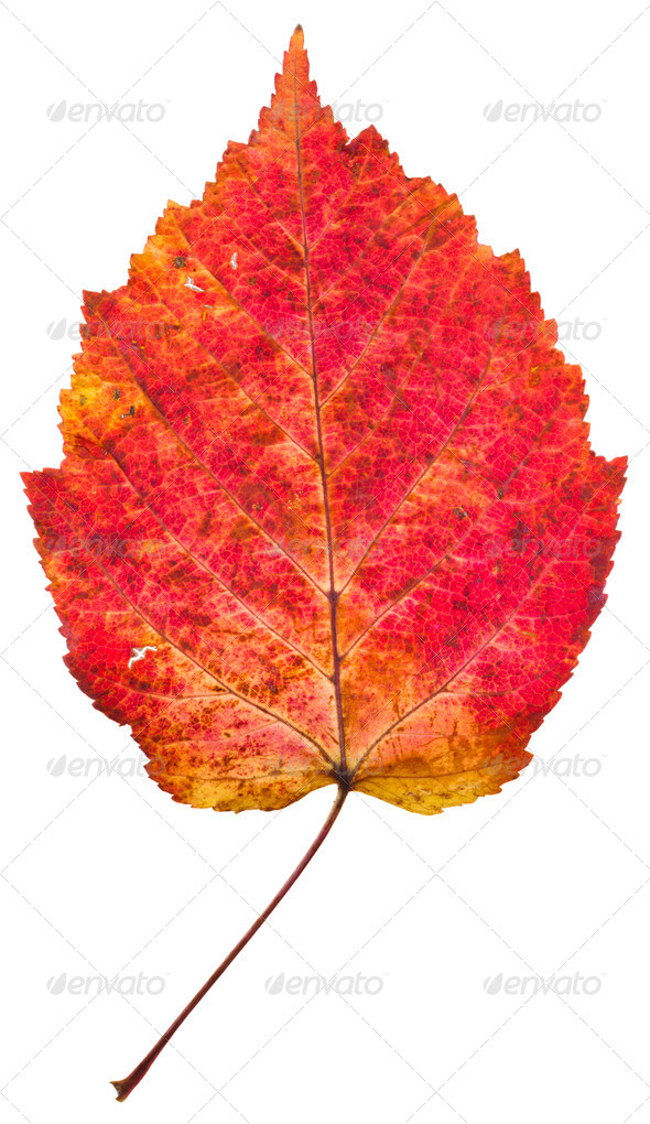 one autumn red aspen leaf - Stock Photo - Images