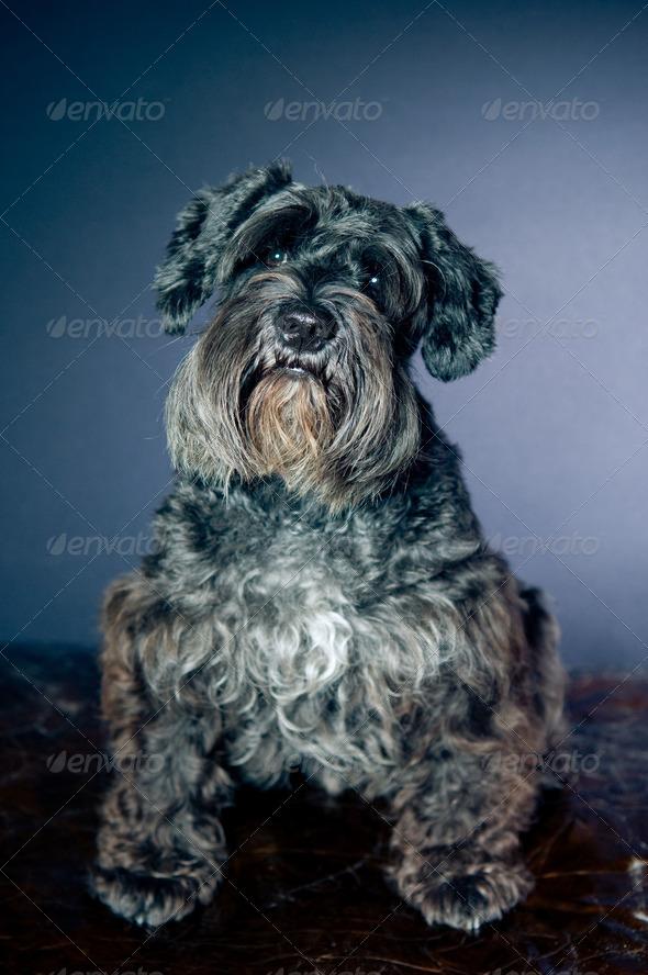 Schnauzer portrait - Stock Photo - Images