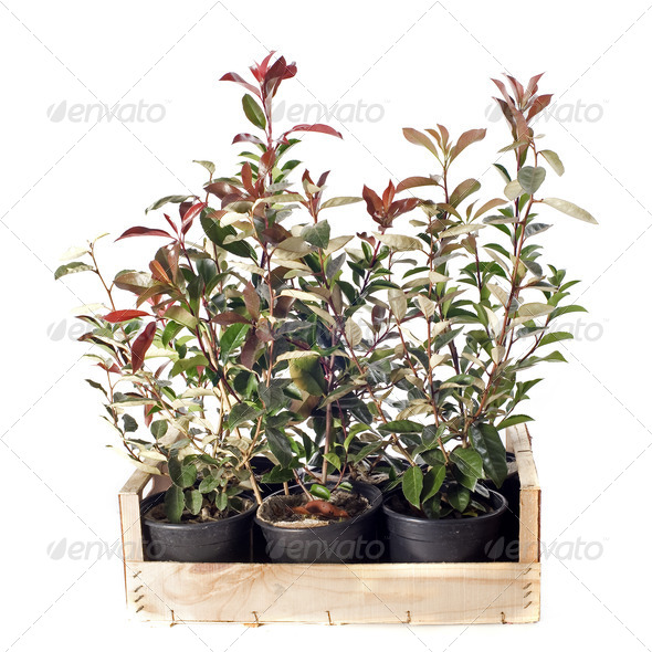 Eleagnus and photinia - Stock Photo - Images