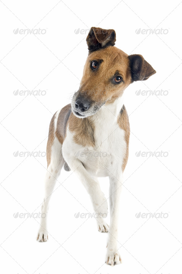 smooth fox terrier - Stock Photo - Images
