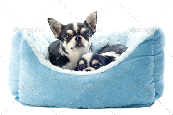 chihuahuas and dog bed - Stock Photo - Images