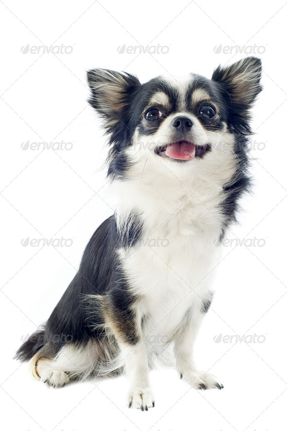chihuahua white and black - Stock Photo - Images