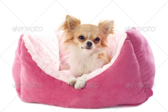 chihuahua and dog bed - Stock Photo - Images