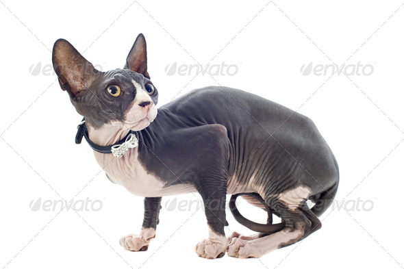 Sphynx Cat - Stock Photo - Images