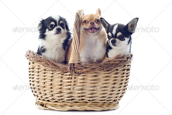 chihuahuas in basket - Stock Photo - Images
