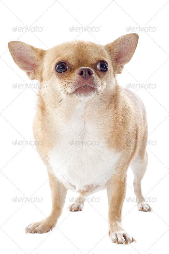 fat chihuahua - Stock Photo - Images