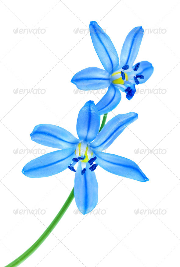 Snowdrop blue - Stock Photo - Images