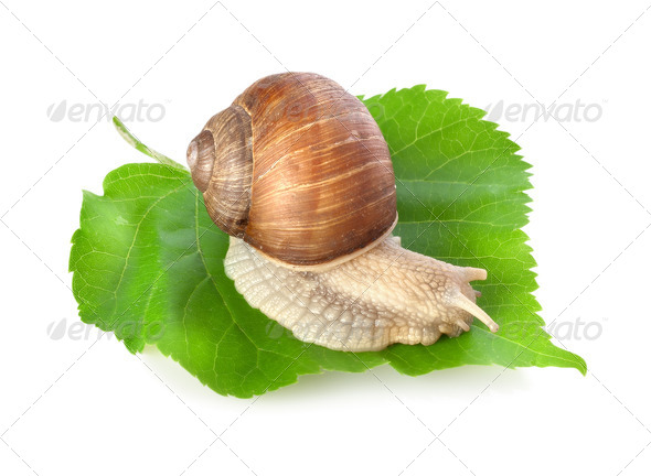 Snail on a green leaf - Stock Photo - Images