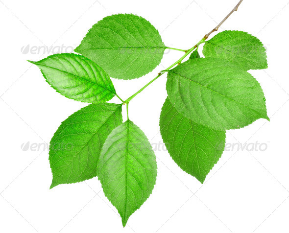 Branch of green leaves isolated - Stock Photo - Images