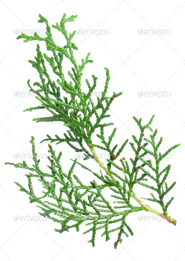 Branch thuja - Stock Photo - Images