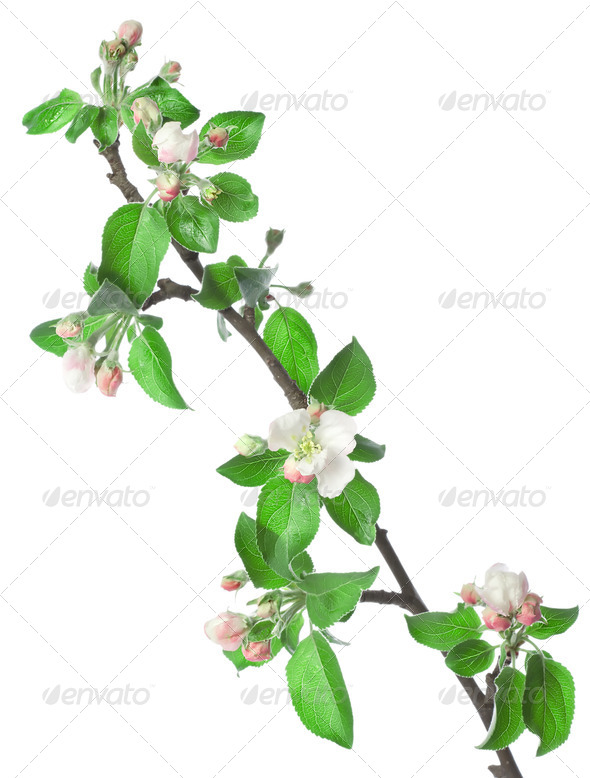 Apple branch in blossom - Stock Photo - Images