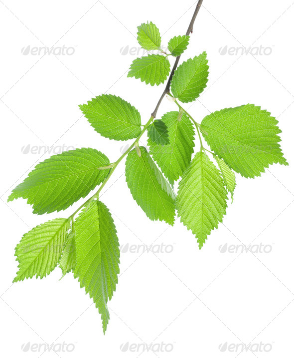Branch of green leaves - Stock Photo - Images