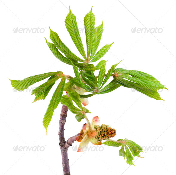 Spring chestnut - Stock Photo - Images