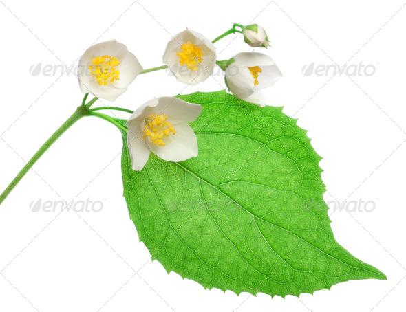 Jasmine flowers isolated - Stock Photo - Images