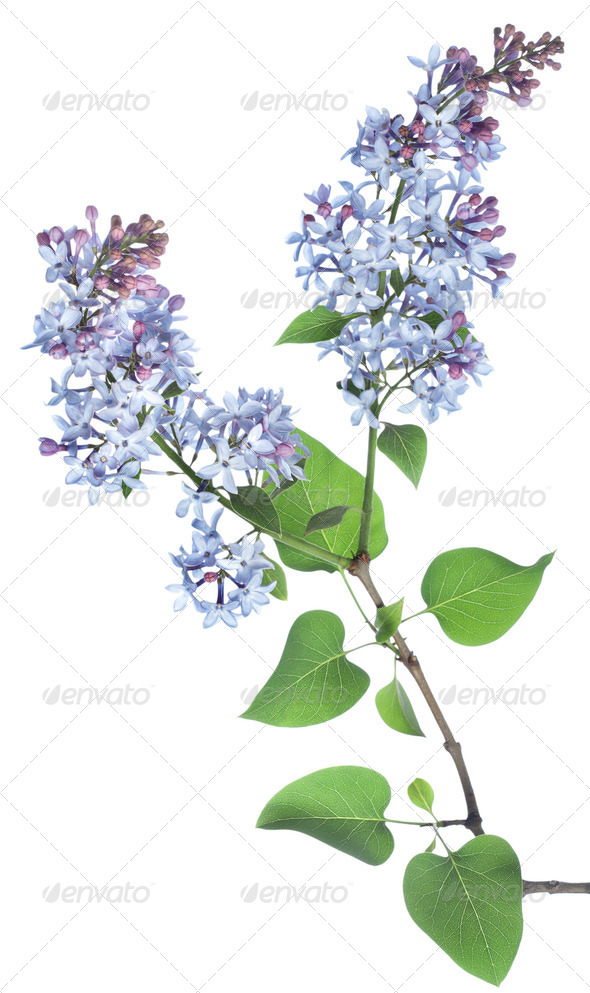Lilac branch - Stock Photo - Images