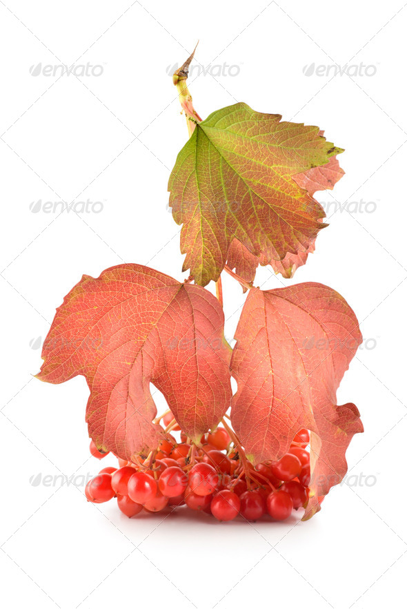 Viburnum - Stock Photo - Images