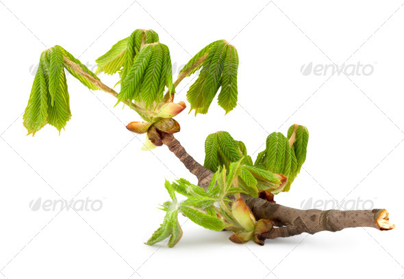 Branch of chestnut - Stock Photo - Images