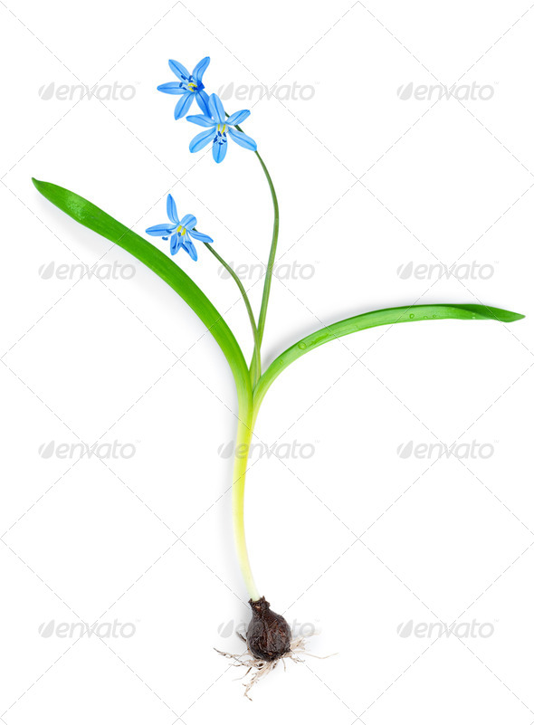 Snowdrop blue isolated - Stock Photo - Images