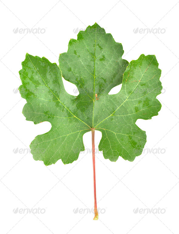 Grape leaves isolated on white - Stock Photo - Images
