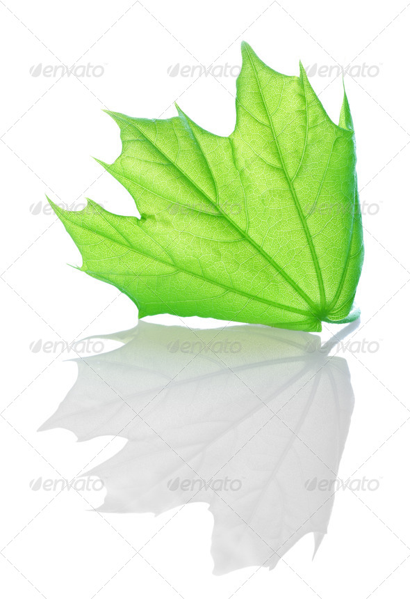 Green maple - Stock Photo - Images