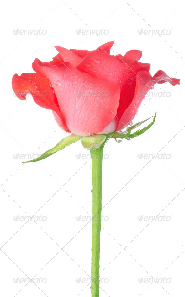 Red rose isolated - Stock Photo - Images