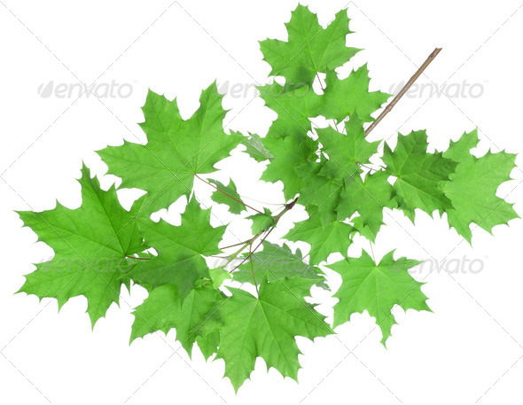 Maple leaves - Stock Photo - Images