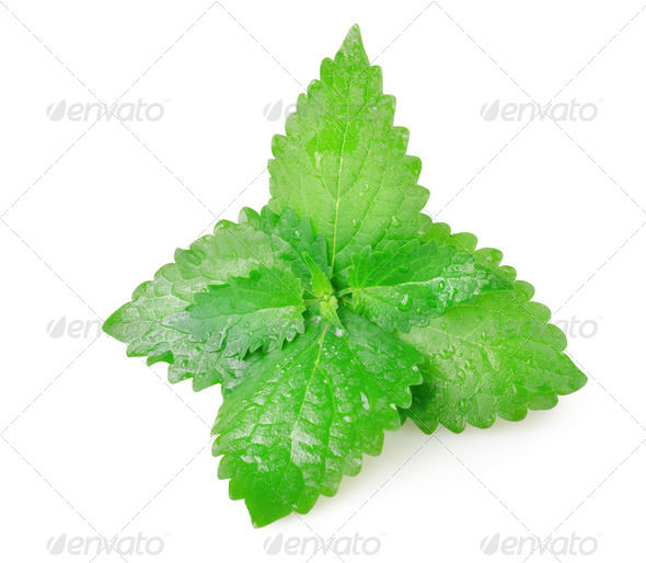 Green mint leaves - Stock Photo - Images