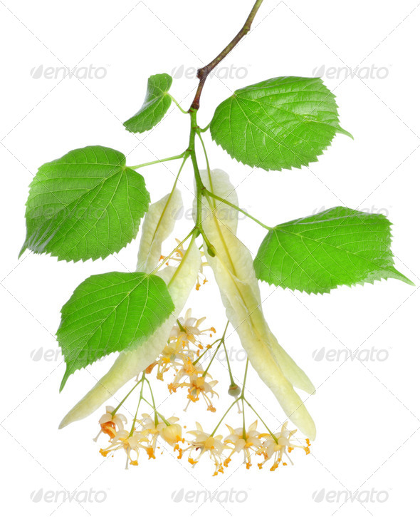 Flowers of linden-tree - Stock Photo - Images