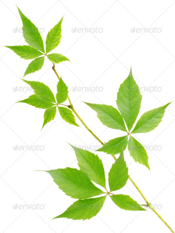 Branch of wild grapes - Stock Photo - Images