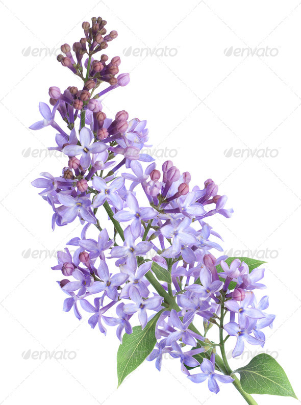 Lilac branch isolated - Stock Photo - Images