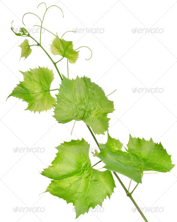 Fresh grape leaves isolated - Stock Photo - Images