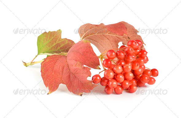 Ripe viburnum - Stock Photo - Images