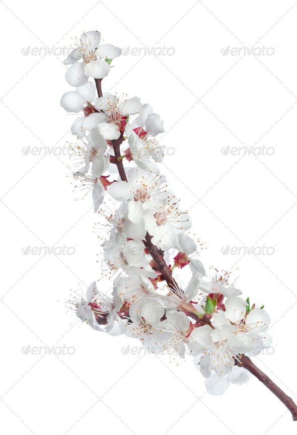 Branch apricots - Stock Photo - Images